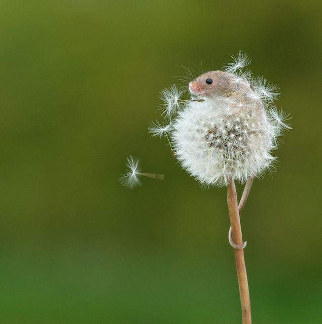 可愛的最高境界:老鼠寶寶加蒲公英1