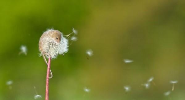 可愛的最高境界:老鼠寶寶加蒲公英2