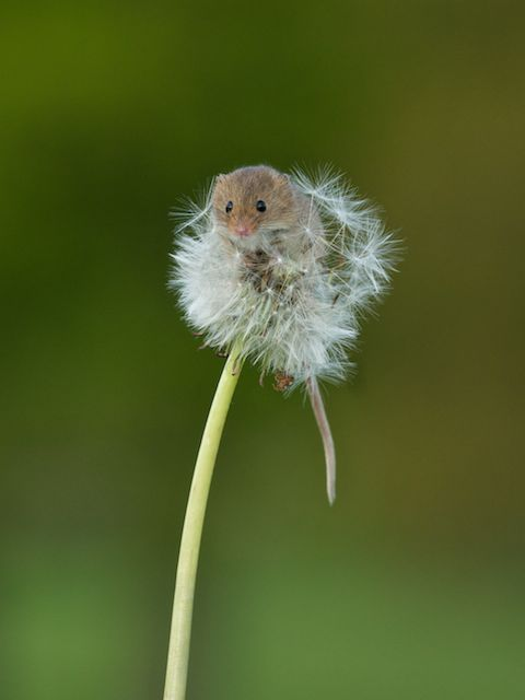 可愛的最高境界:老鼠寶寶加蒲公英4