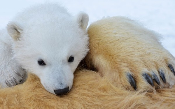 以肉身吸引北極熊的瘋狂攝影師11