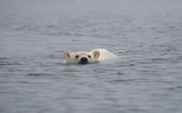以肉身吸引北極熊的瘋狂攝影師12