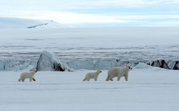 以肉身吸引北極熊的瘋狂攝影師4