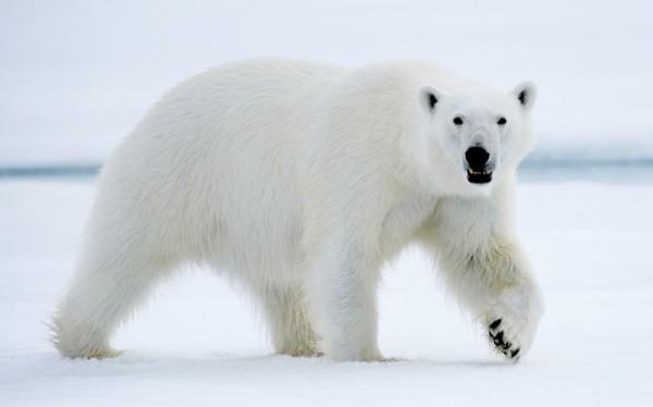 以肉身吸引北極熊的瘋狂攝影師7
