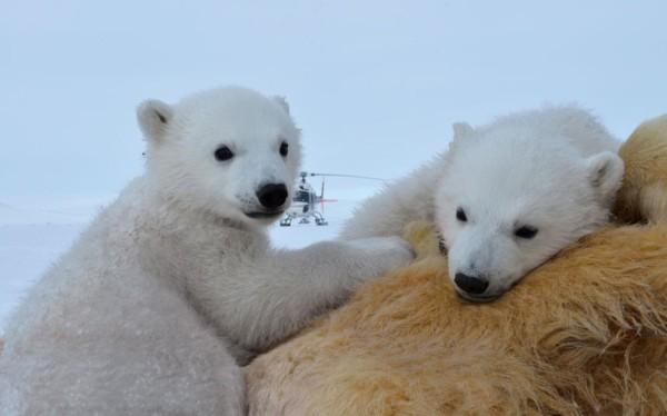 以肉身吸引北極熊的瘋狂攝影師8