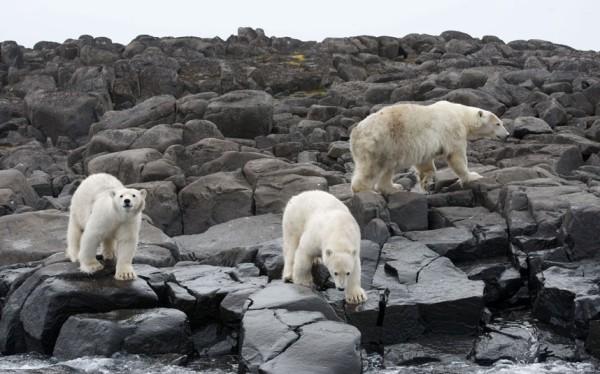 以肉身吸引北極熊的瘋狂攝影師9