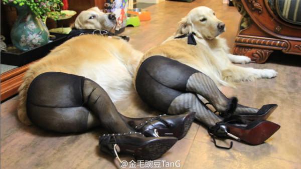 狗狗穿絲襪:這是最糟糕的狗狗惡作劇嗎?1
