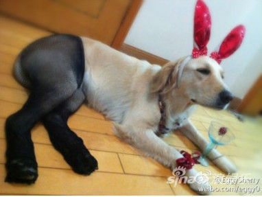 狗狗穿絲襪:這是最糟糕的狗狗惡作劇嗎?8