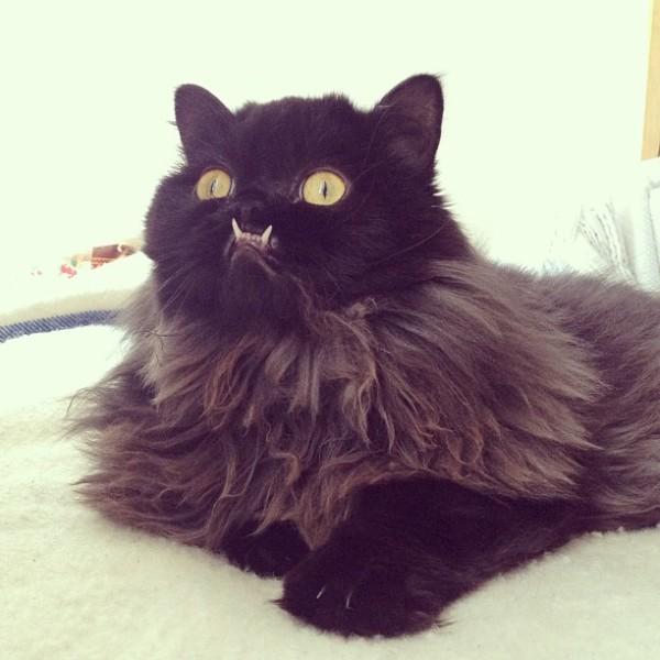 不是假牙,這隻貓真得長這樣!1