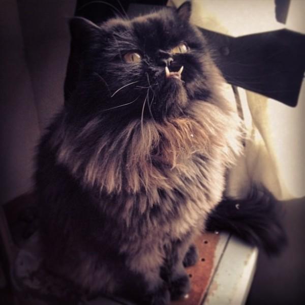 不是假牙,這隻貓真得長這樣!3
