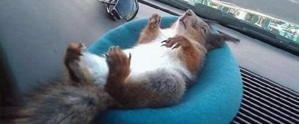 陪計程車司機一起載客的松鼠