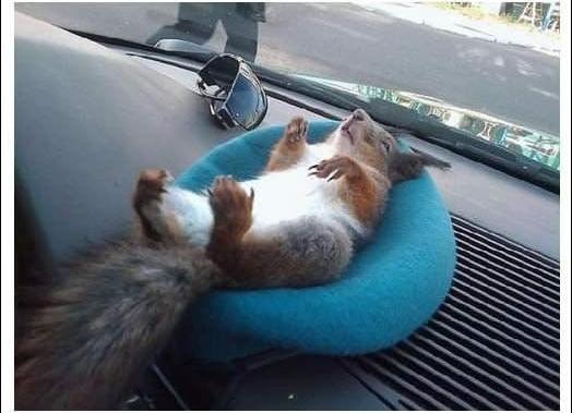 陪計程車司機一起載客的松鼠_04
