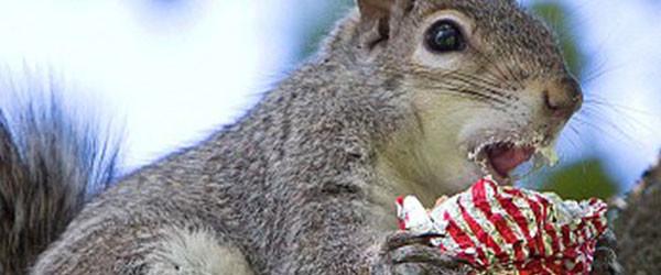 吃糖吃到滿嘴都是的小松鼠