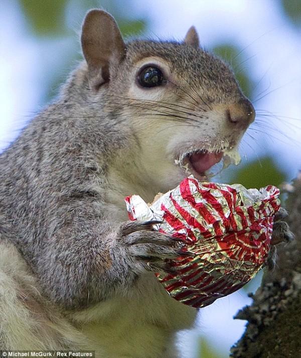 吃糖吃到滿嘴都是的小松鼠1