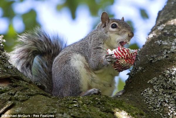 吃糖吃到滿嘴都是的小松鼠2