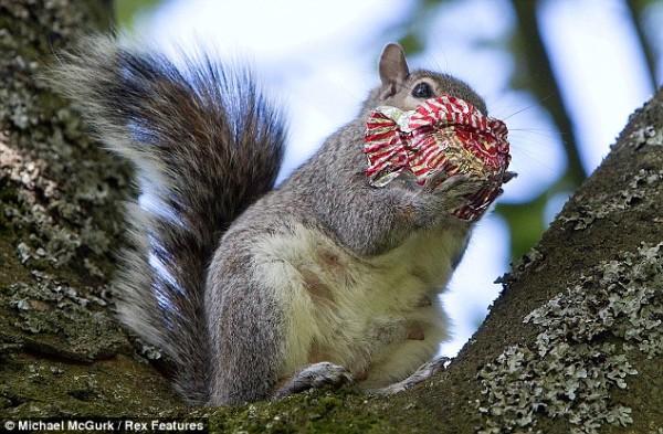 吃糖吃到滿嘴都是的小松鼠3