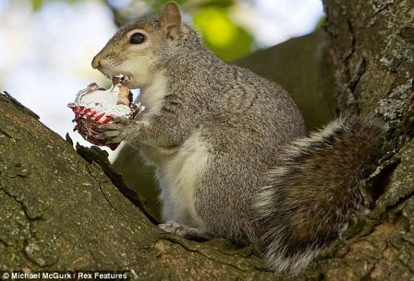 吃糖吃到滿嘴都是的小松鼠4
