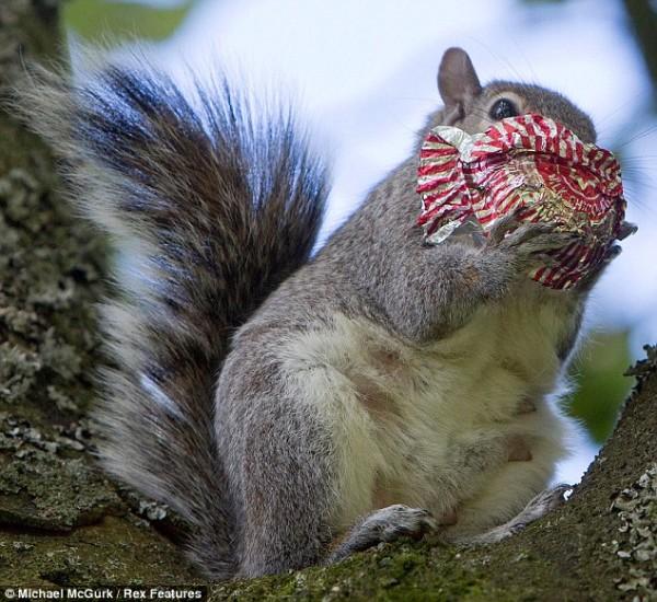 吃糖吃到滿嘴都是的小松鼠6