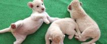 可愛到超犯規!七隻白獅子寶寶0
