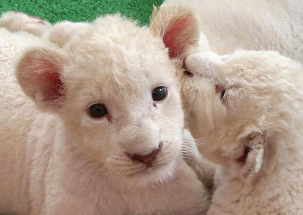 可愛到超犯規!七隻白獅子寶寶1