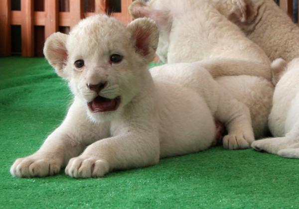 可愛到超犯規!七隻白獅子寶寶10
