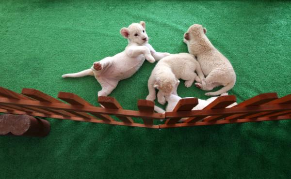 可愛到超犯規!七隻白獅子寶寶11