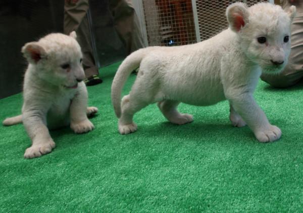 可愛到超犯規!七隻白獅子寶寶12