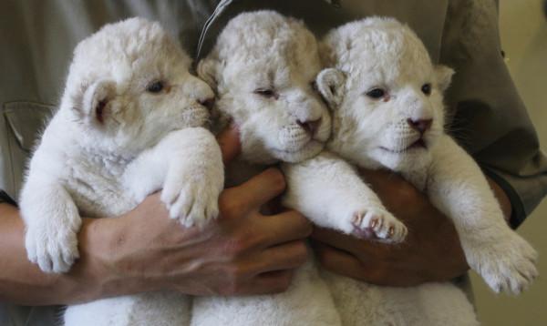 可愛到超犯規!七隻白獅子寶寶13