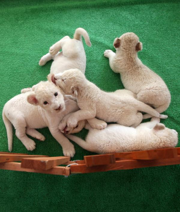 可愛到超犯規!七隻白獅子寶寶14