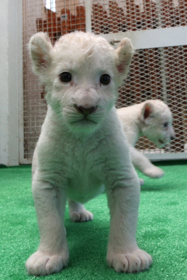 可愛到超犯規!七隻白獅子寶寶2