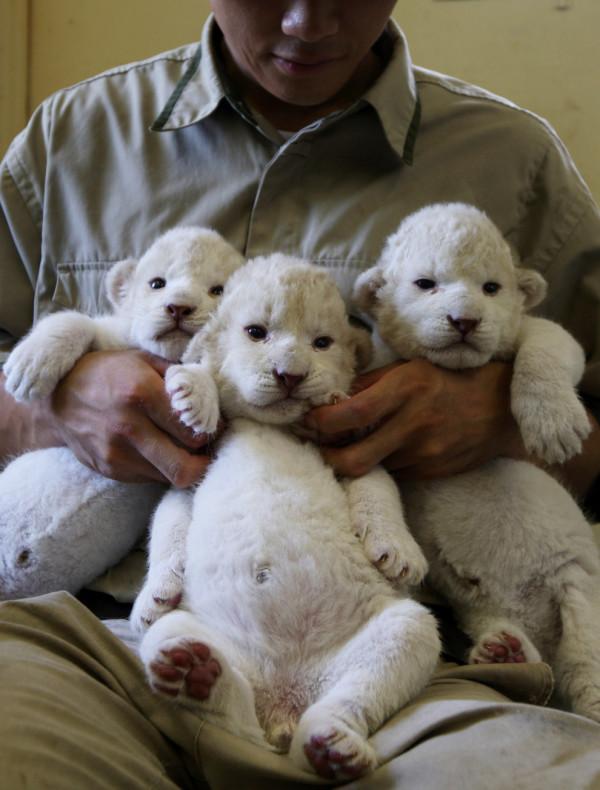 可愛到超犯規!七隻白獅子寶寶3