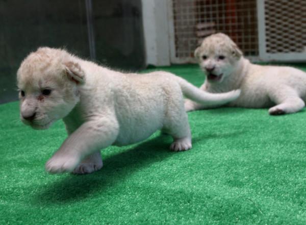 可愛到超犯規!七隻白獅子寶寶4