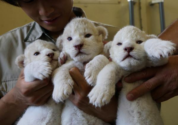 可愛到超犯規!七隻白獅子寶寶5