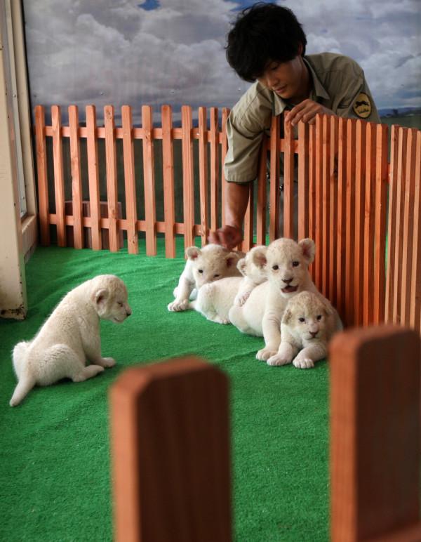 可愛到超犯規!七隻白獅子寶寶6