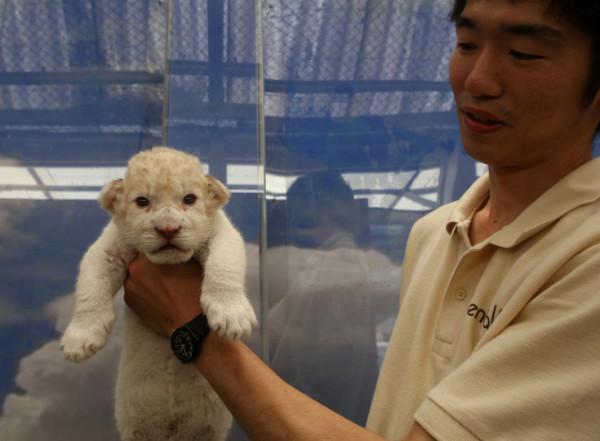 可愛到超犯規!七隻白獅子寶寶7