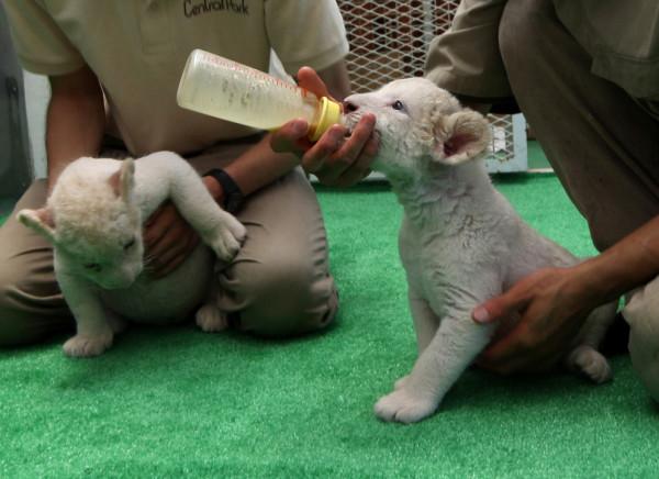 可愛到超犯規!七隻白獅子寶寶8