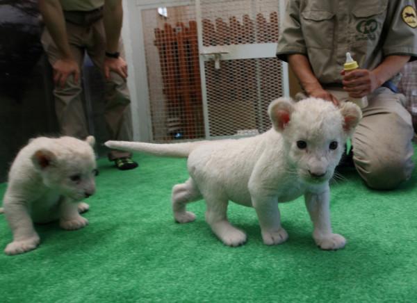 可愛到超犯規!七隻白獅子寶寶9