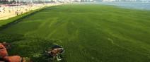 綠藻入侵中國的海邊