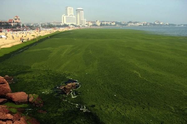 綠藻入侵中國的海邊1