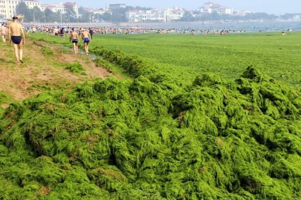 綠藻入侵中國的海邊3