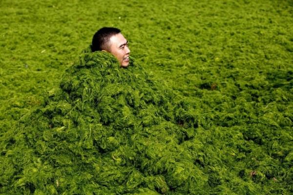 綠藻入侵中國的海邊9