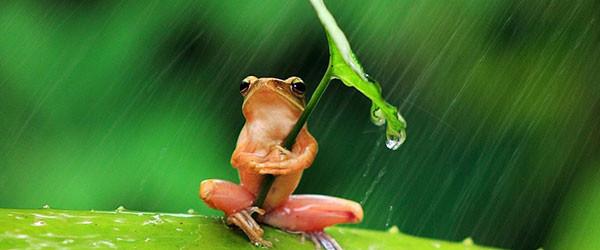 青蛙撐傘!