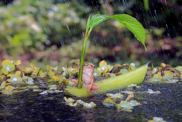 青蛙撐傘!4