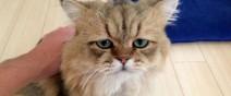 世界上最苦惱的貓咪-小夫