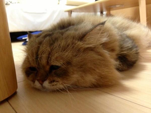 世界上最苦惱的貓咪-小夫13