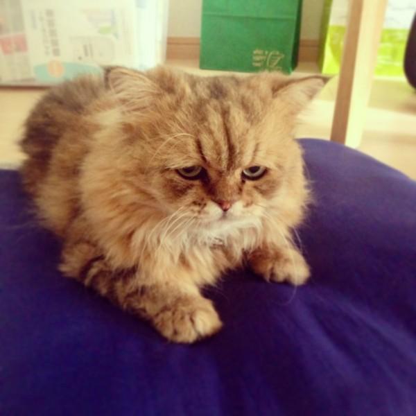 世界上最苦惱的貓咪-小夫4
