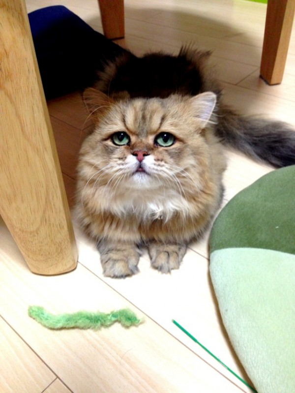 世界上最苦惱的貓咪-小夫6
