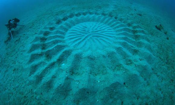 自然界藝術家,會在海底作畫的小河豚!3