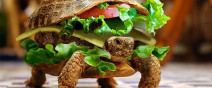還真的不是肯德基!偽裝成漢堡的烏龜