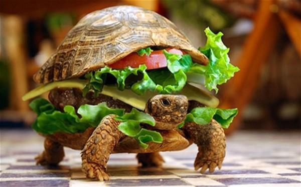 還真的不是肯德基!偽裝成漢堡的烏龜1