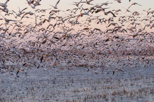 Snow Geese Congregation